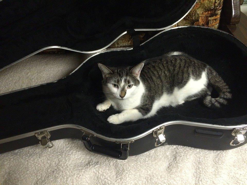 Gato, Estuche De Guitarra, Animales, Caso, Guitarra